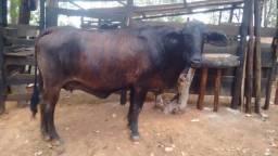 Vaca de leite nova