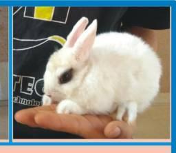 Mini coelho raça Hotot Femea