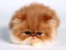 Gatos Persas para encomenda