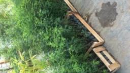 Calliandra - Esponjinha