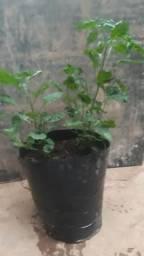 Vende-se mudas de pimentas e esterco