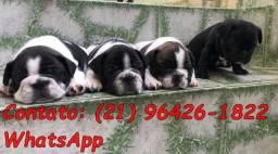 Bulldog frânces machos e fêmeas parcelo no cartão até 12x