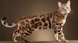 Procuro Gato Bengal filhote