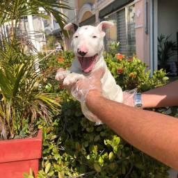 Disponível Filhote de Bull Terrier