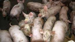 Galinhas e porcos