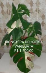Planta Rara e exclusiva, Monstera Deliciosa Variegata