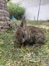 Título do anúncio: Mini coelhos