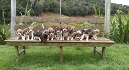 Título do anúncio: Beagle 13 plgdas/ pag Canil Canaã - RJ