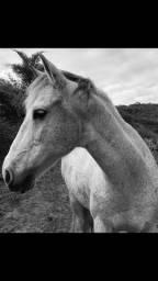 Cavalo Mangalarga Machador