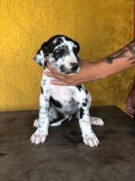 Título do anúncio: Dog Alemão Excelente Linhagem Filhotes Machos Canil dos Gigantes