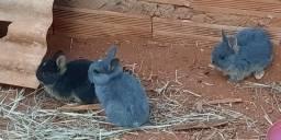 Título do anúncio: Mini coelhos filhotes
