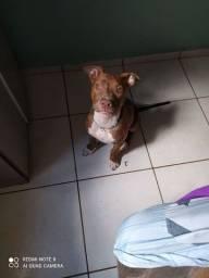 Vendo cadela Pitbull  com 4 meses muito linda $600