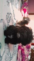 Título do anúncio: Poodle porte pequeno