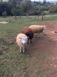 Ovelhas texel