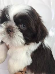 Shihtzu chocolate ( macho)
