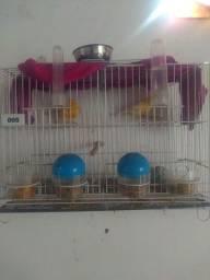 Vendo casal de canário