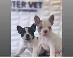 Título do anúncio: Cachorro buldogue francês