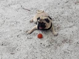 Pug macho- com pedigree