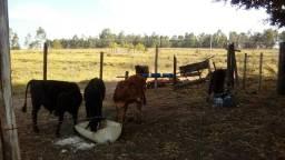 Vendo (lotinho1 vaca de cria mais 10 bezerros machos e femeas