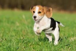 Vende-se um beagle 4 meses