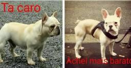 Bulldog francês Cuidado alerta!!!
