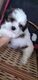 Cachorro Lhasa Apso Macho em Garanhuns!