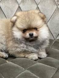 Spitz alemão ursinhos os mais lindos Lulus da pomerania