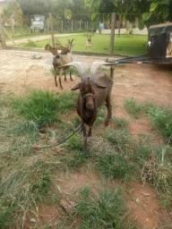 Vendo cabras e cabritos. *