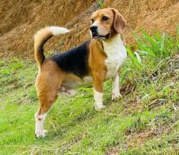 Título do anúncio: Bbs de beagle 13 / pag Canil Canaã