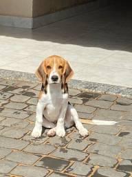 Vendo esse filhote de beagle macho
