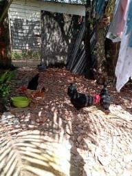 Título do anúncio: Vendo um galo e duas galinhas gigante negro de Jersey