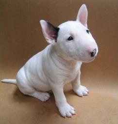 Bull Terrier-Assistência Veterinária gratuita.