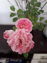 Título do anúncio: Roseira trepadeira muda com mais de um ano