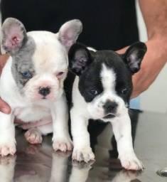 Título do anúncio: Cachorro bulldog francês