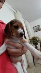 Beagles filhotes