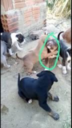 Filhotes Pit bull
