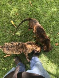 Filhotes de Dogo Canário / Presa Canário