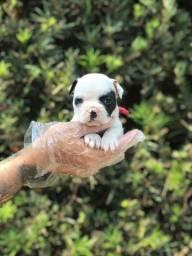 Bulldog Francês disponíveis pra hoje, garantia total de saúde inclusa