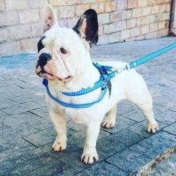 Bulldog francês Macho