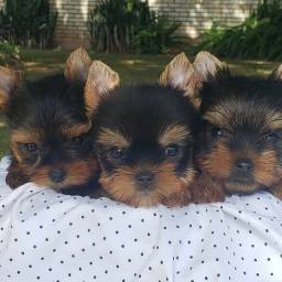 Yorkshire Terrier Machinho Ah Pronta Entrega