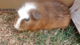 Paranavai PR. Vendo lindos porquinhos da Índia!