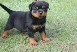 Cão de guarda rottweiler Leal ao dono( MACHO)