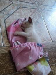 Doa-se Filhote de gato fêmea branca