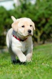 Filhotes de Labrador macho e fêmea lindos