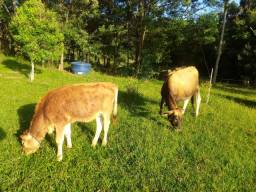 Vacas Jersey primeira cria.