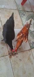 Temos galo e galinhas caipiras a venda