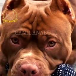 Título do anúncio: Filhotes XXL American Bully Monstros do Canil AnaBull Envio aéreo Grátis - Pitbull