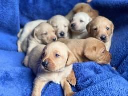 Labrador a pronta entrega com garantis de vida e saúde!