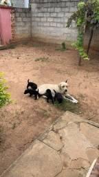 Título do anúncio: filhotes de labrador retriever PURO
