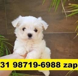 Canil Filhotes Top Cães BH Maltês Lhasa Poodle Shihtzu Basset Yorkshire Pug